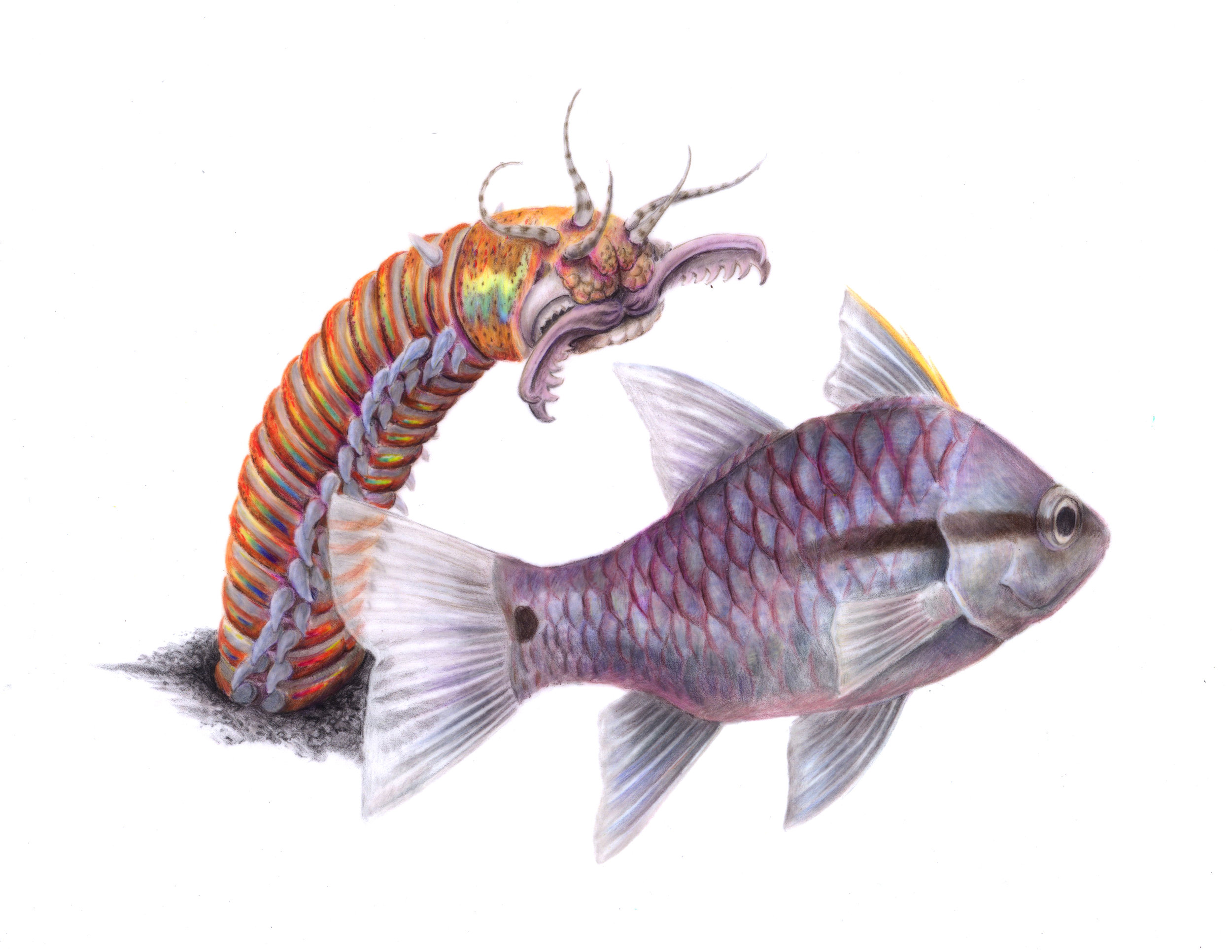 Bobbit Worm and Iridescent Cardinalfish