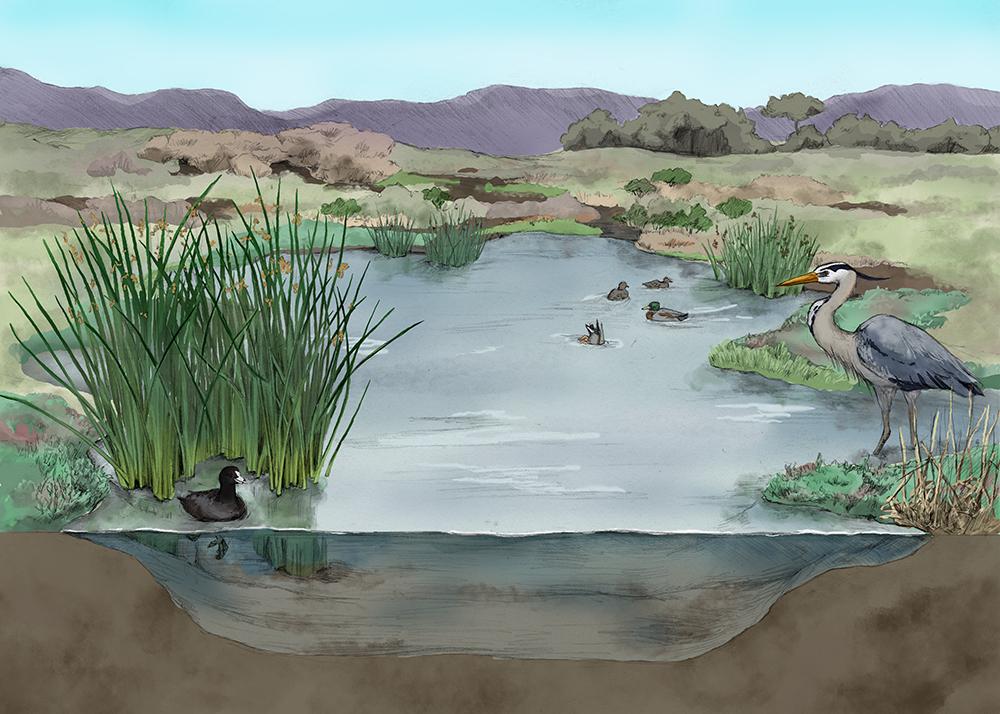 Pond Habitat