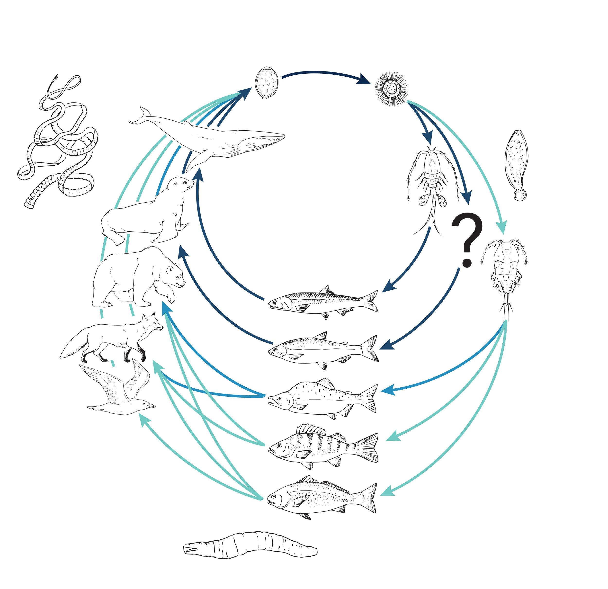Diphyllobothrium lifecycle (b&w).jpg