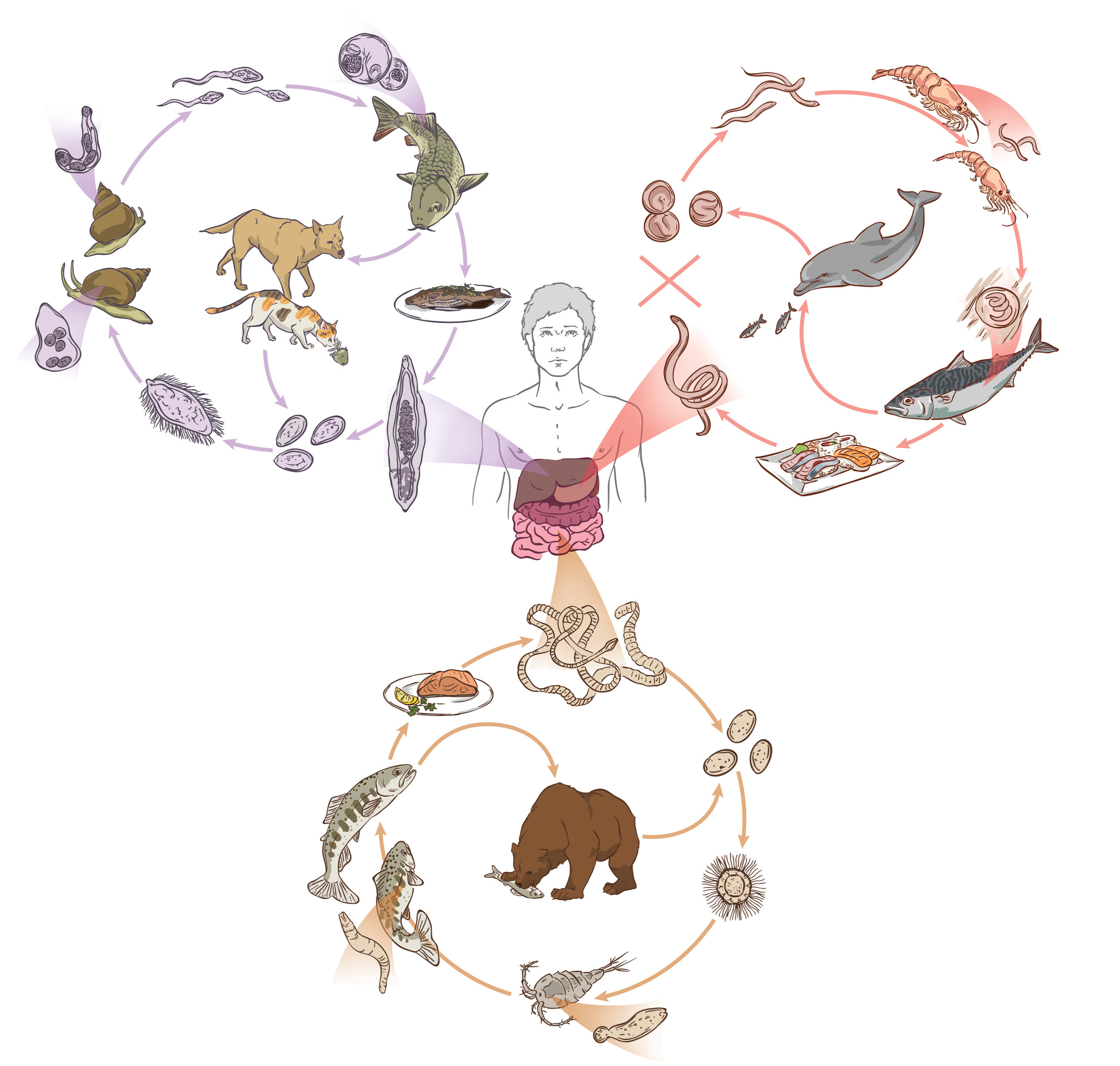 zoonotic cycle final (RGB).jpg