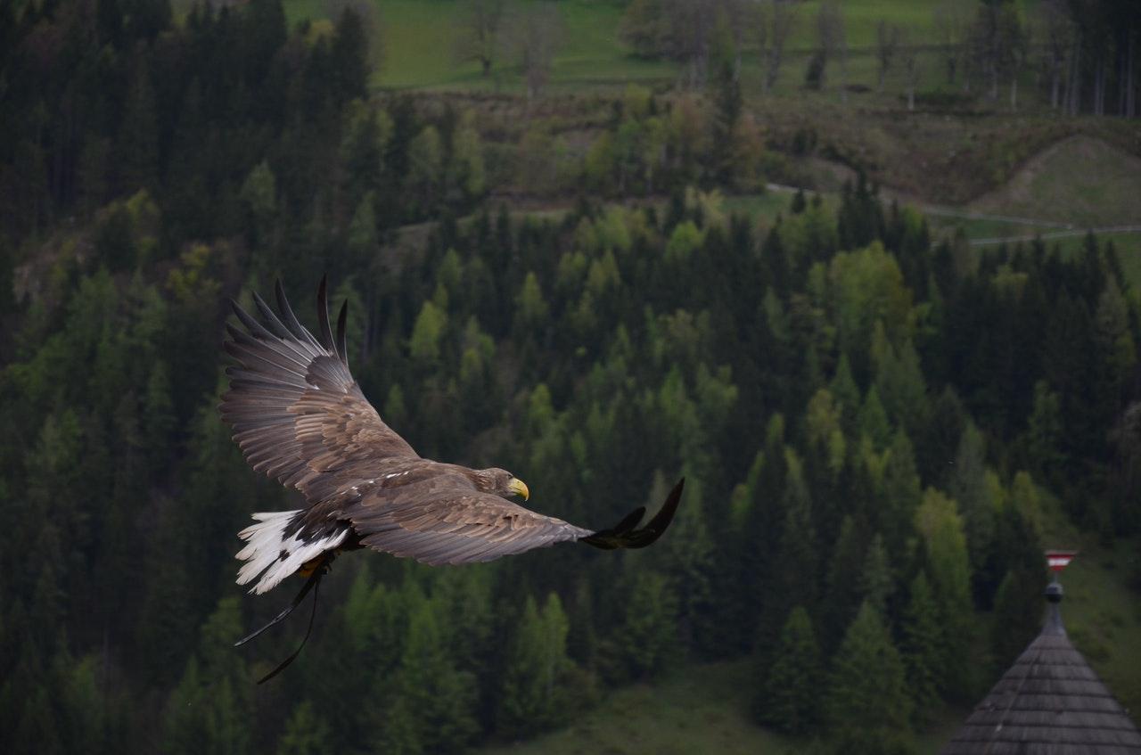 adler-bird-bird-of-prey-raptor-56865.jpeg