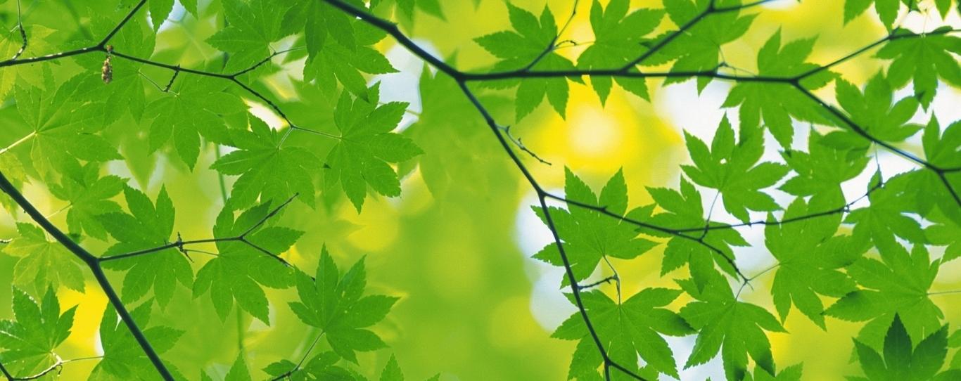 maple_leaves_branch_green_90004_1366x768.jpg