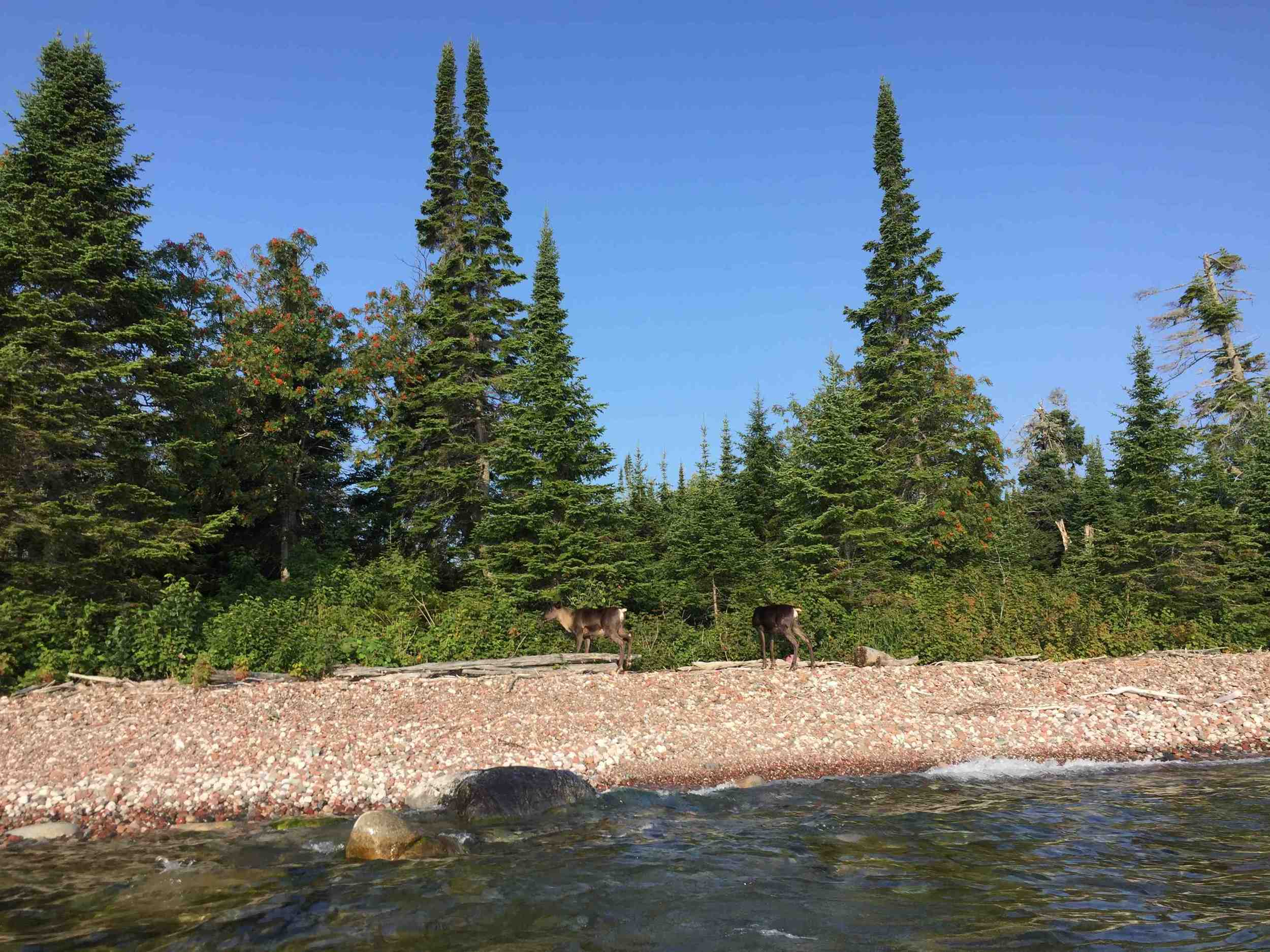 Caribou on Lake Superior