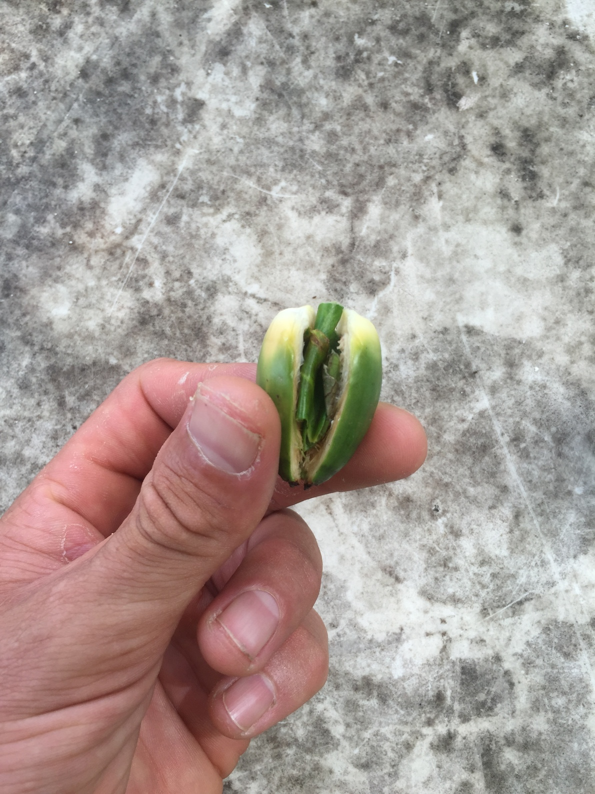 My first betelnut experience. Fresh from the tree where I paddled to Dolce.