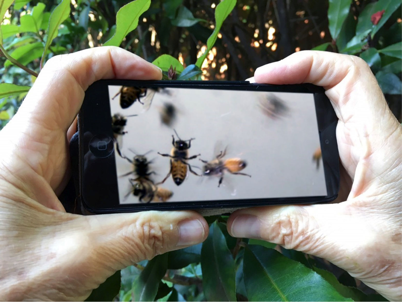 Artist's impression of the video playing on a smart phone. This shows clearly the way in which the relative size between the bees and the viewer's hands creates a unique, intimate viewing experience.