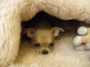Rachel Redlaw Rocco tiny dog