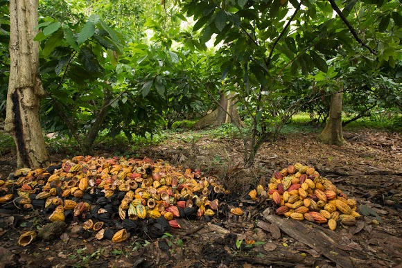 Amano found more cacao than they can handle in the Dominican Republic