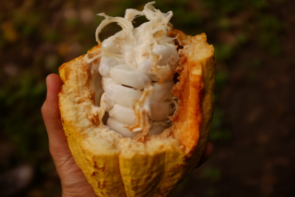 This is what fresh cacao looks like. Crazy, right?!