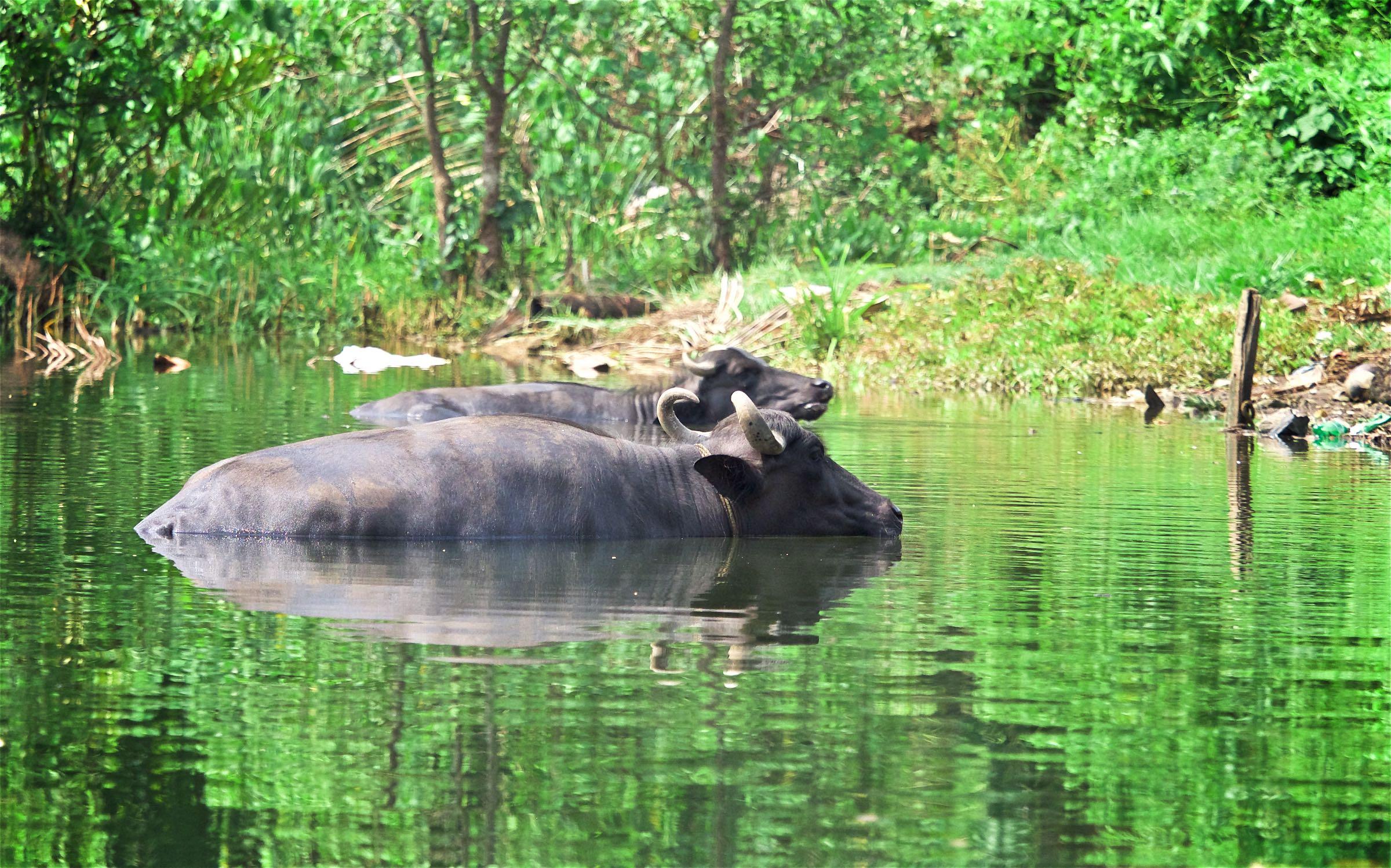 Cow Bath