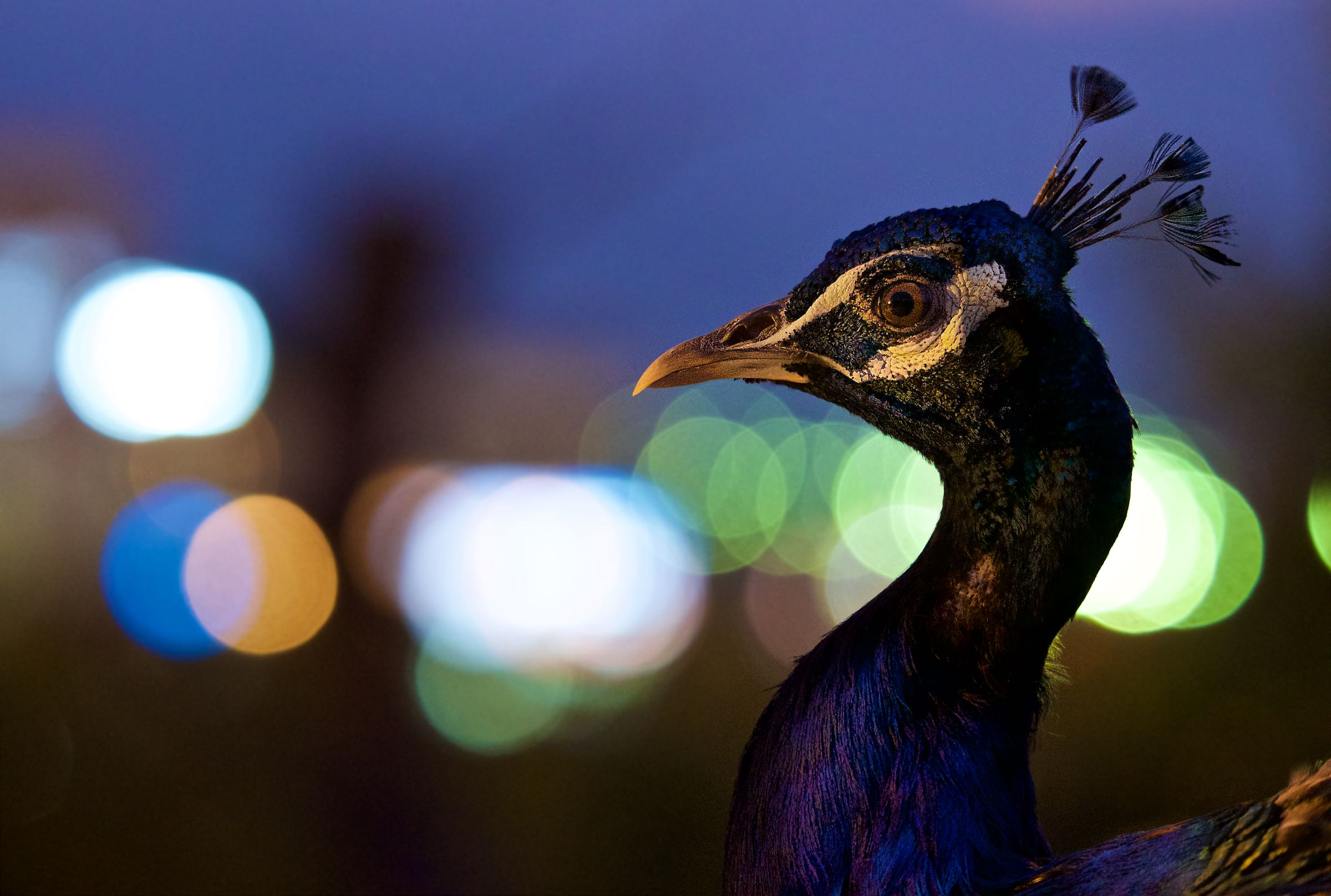 Peacock in the Lights