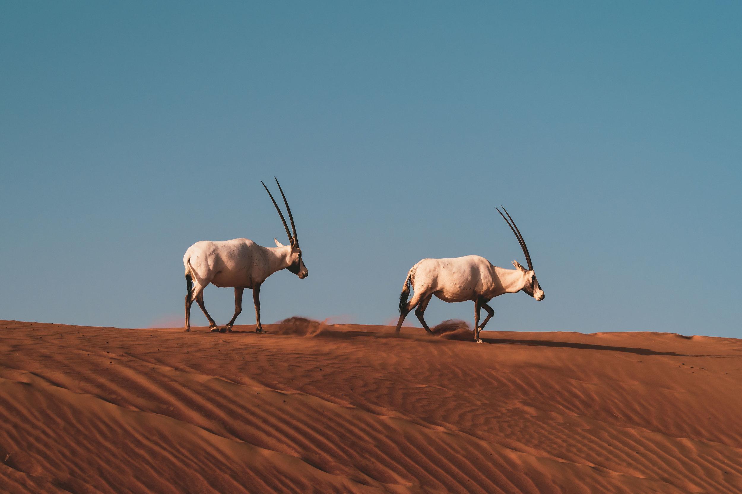 Oryx in the Sunrise