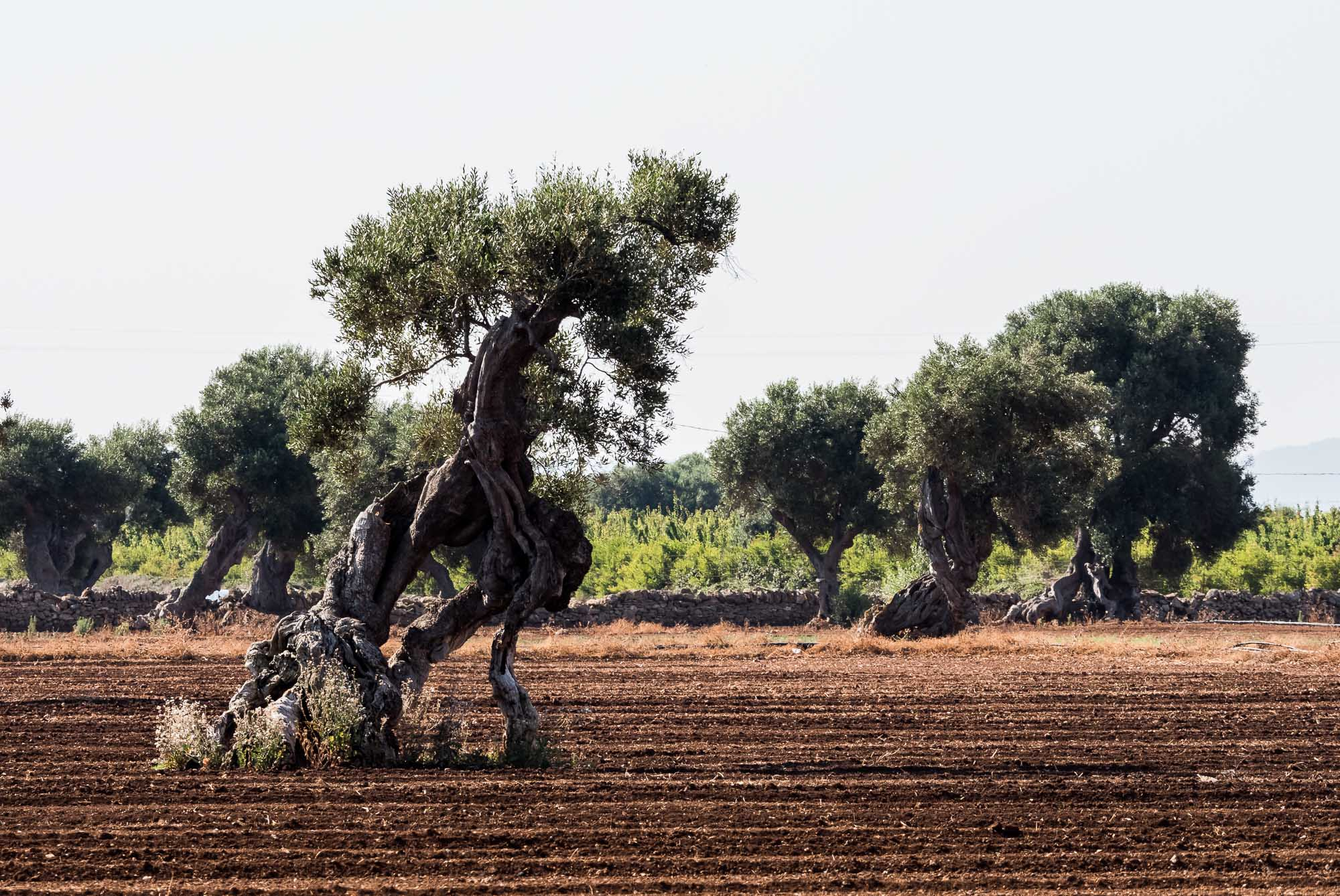 And more Olive Trees