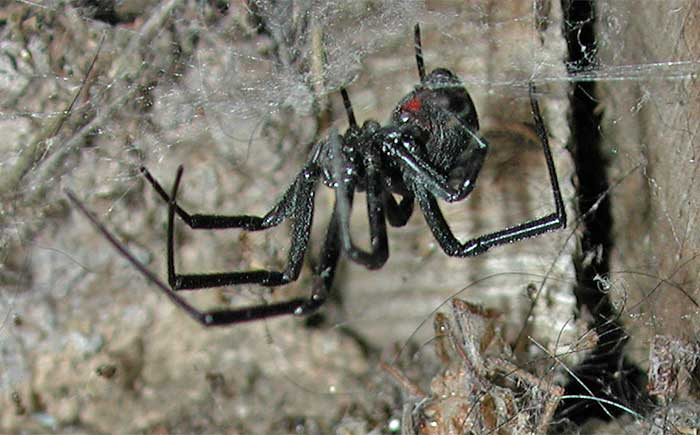 Black Widow Spider, click photo to learn more from desertusa.com