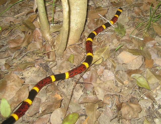 Coral snake.