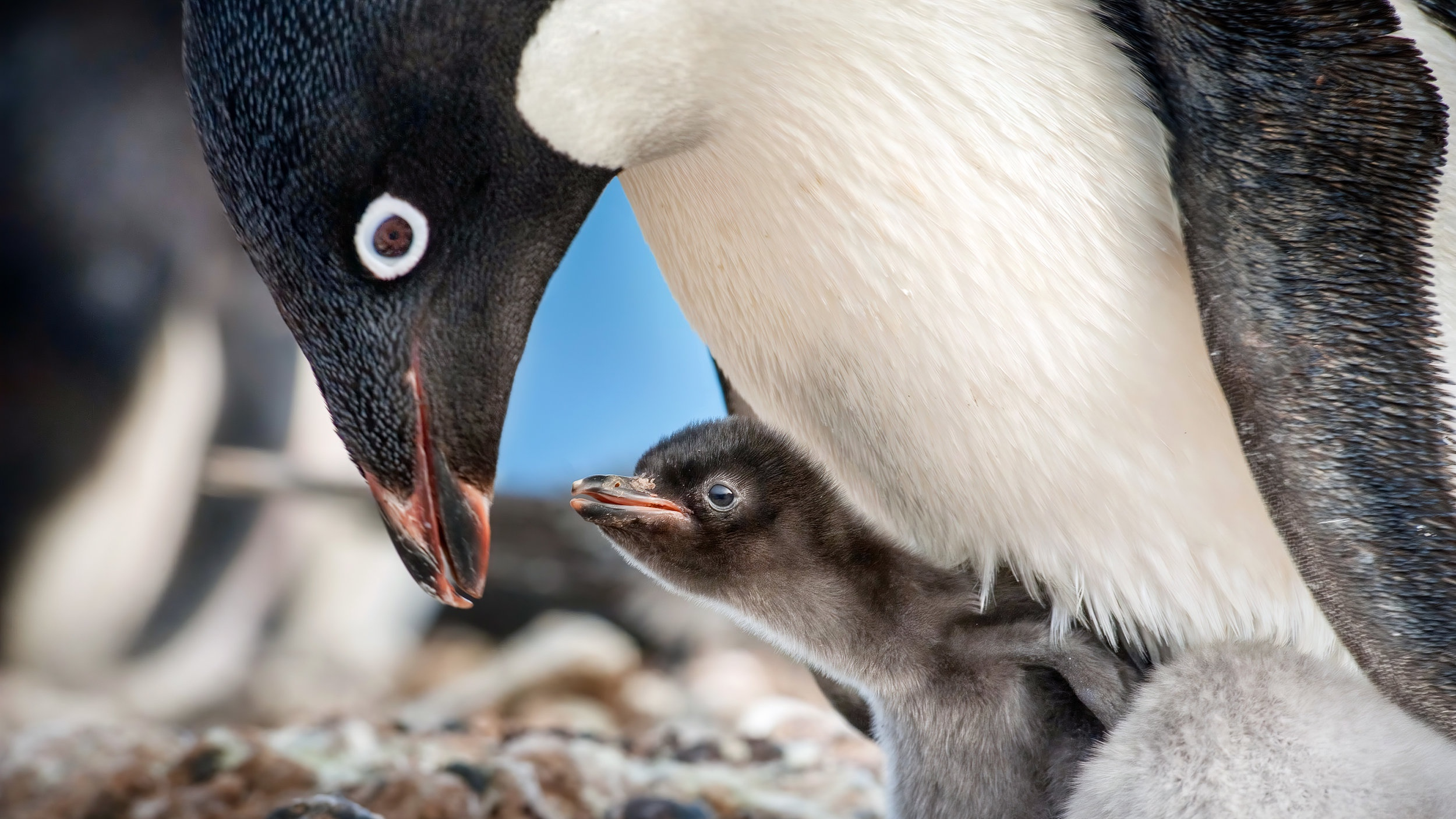 Penguins5c2f98b545de6.jpg