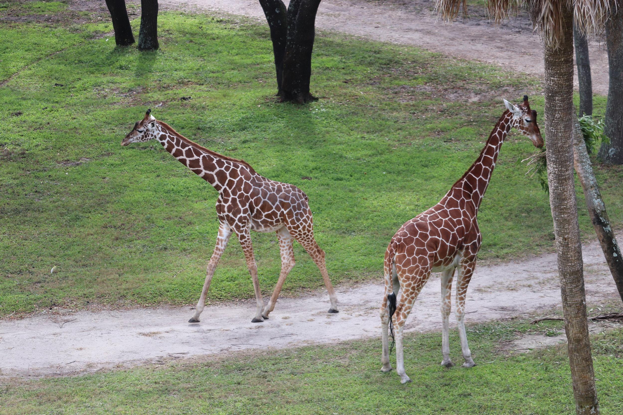 You can see so many animals at Animal Kingdom Lodge.