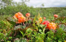 Multer in the summer. close to the ground, picking them one by one.  Cloudberries