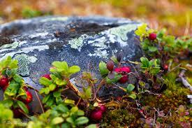 Tyttebær in the mountains in Norway,  Lingonberries