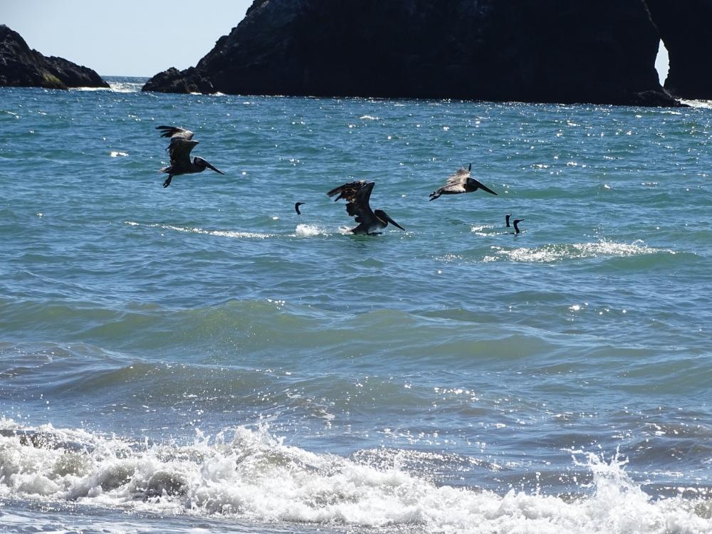 Dino birds aka brown pelicans