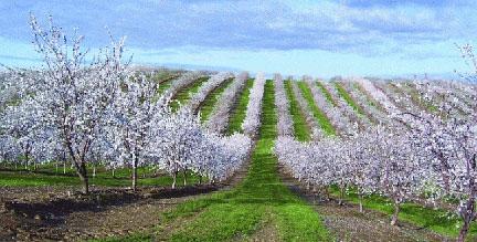 Almond-only orchards in California.