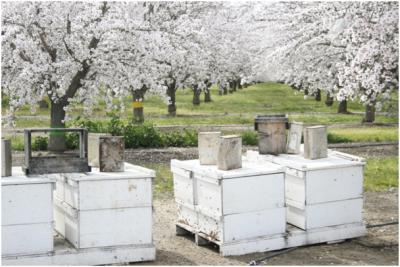 Hives are delivered to force almond pollination.