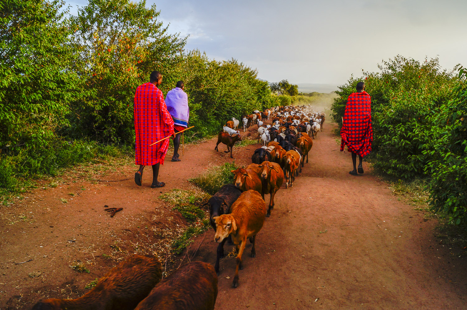 A typical morning in the life of the Maasai as they walk their cattle out to pasture. The leader (back left)explained to us that the number of cattle a man has is a measure of wealth. He was sure to boast that he is a wealthy man.