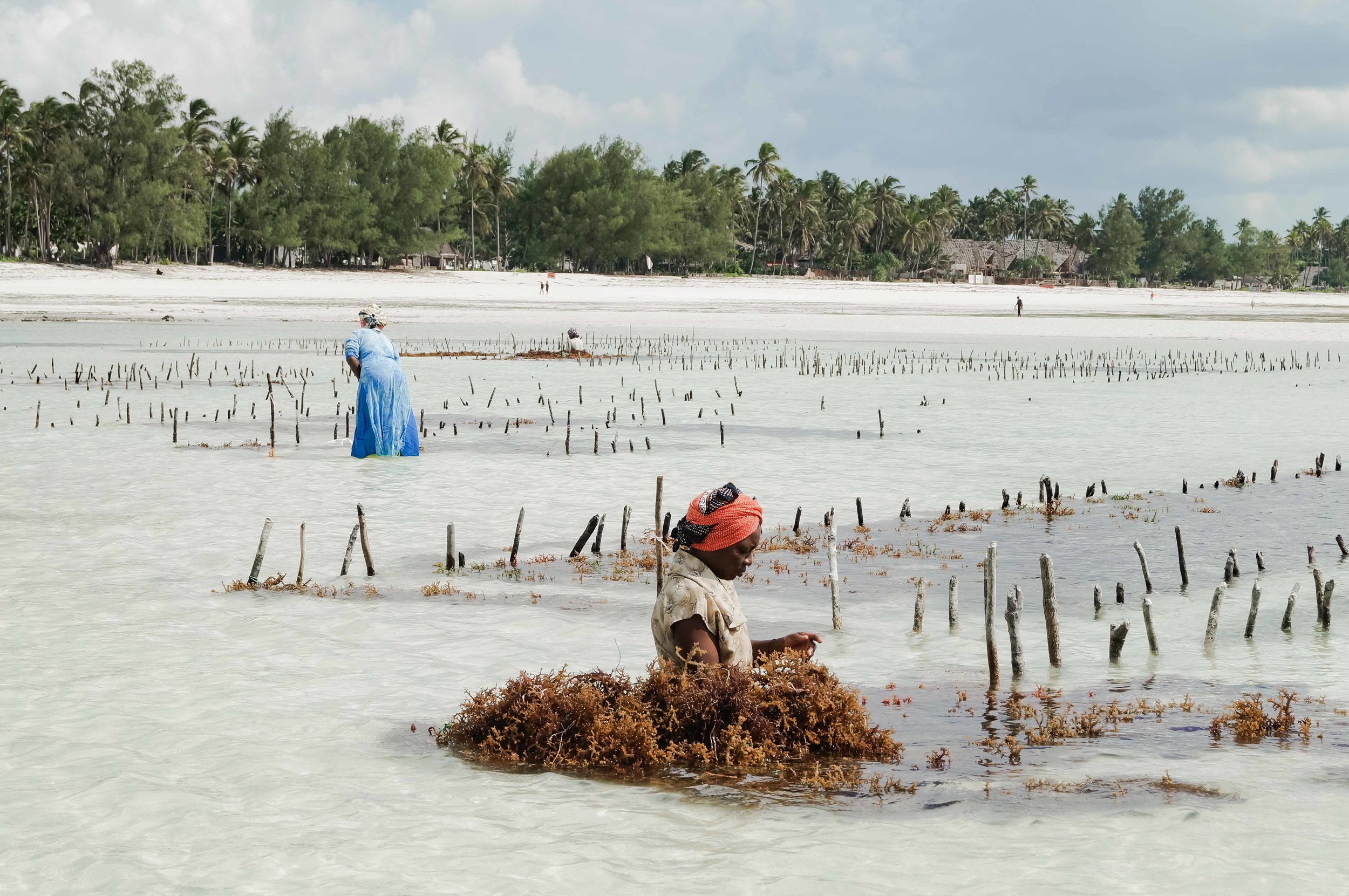 As the tide goes out it reveals a seaweed farm, the local women make their way out into the shallow waters to harvest.