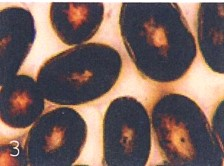 High concentration of eumelanin smaller concentration of pheomelanin