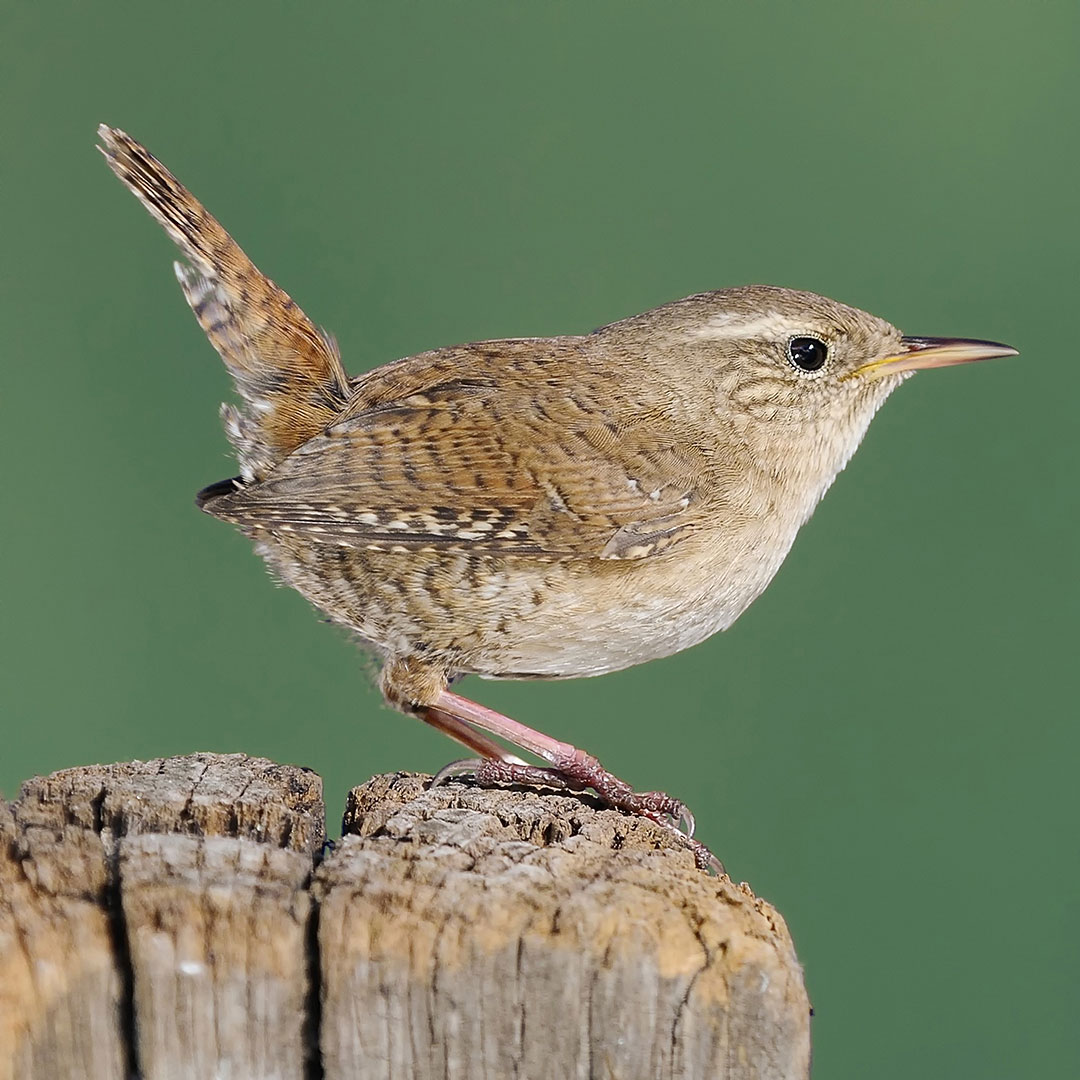 Winter Wren