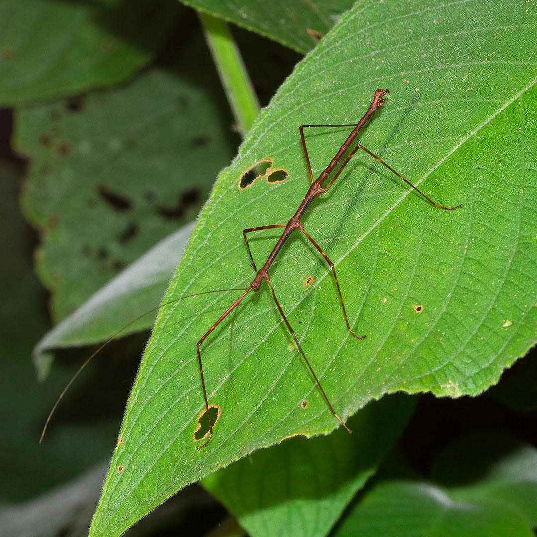 Common Walking Stick