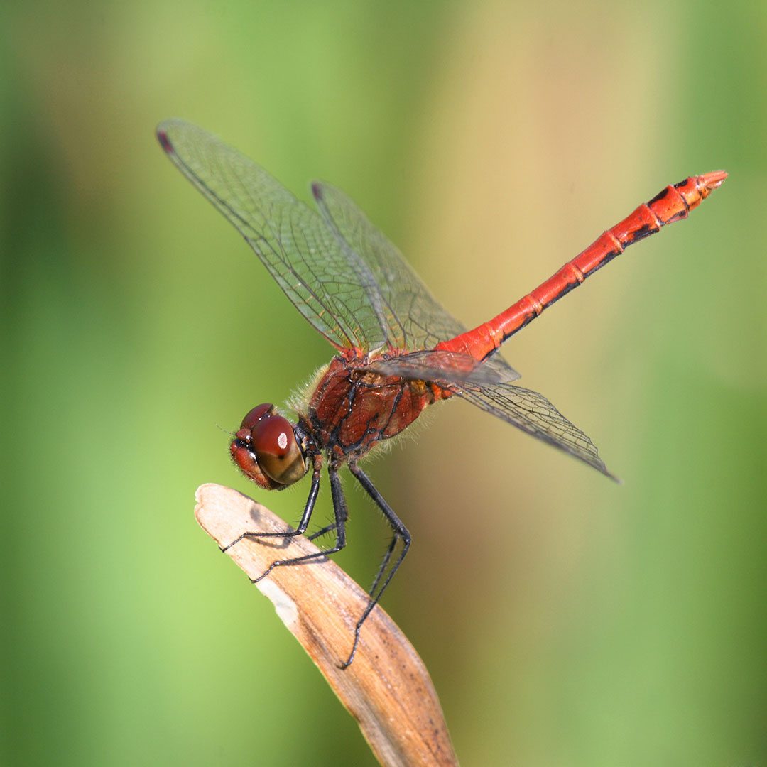 Ruby Damselfly