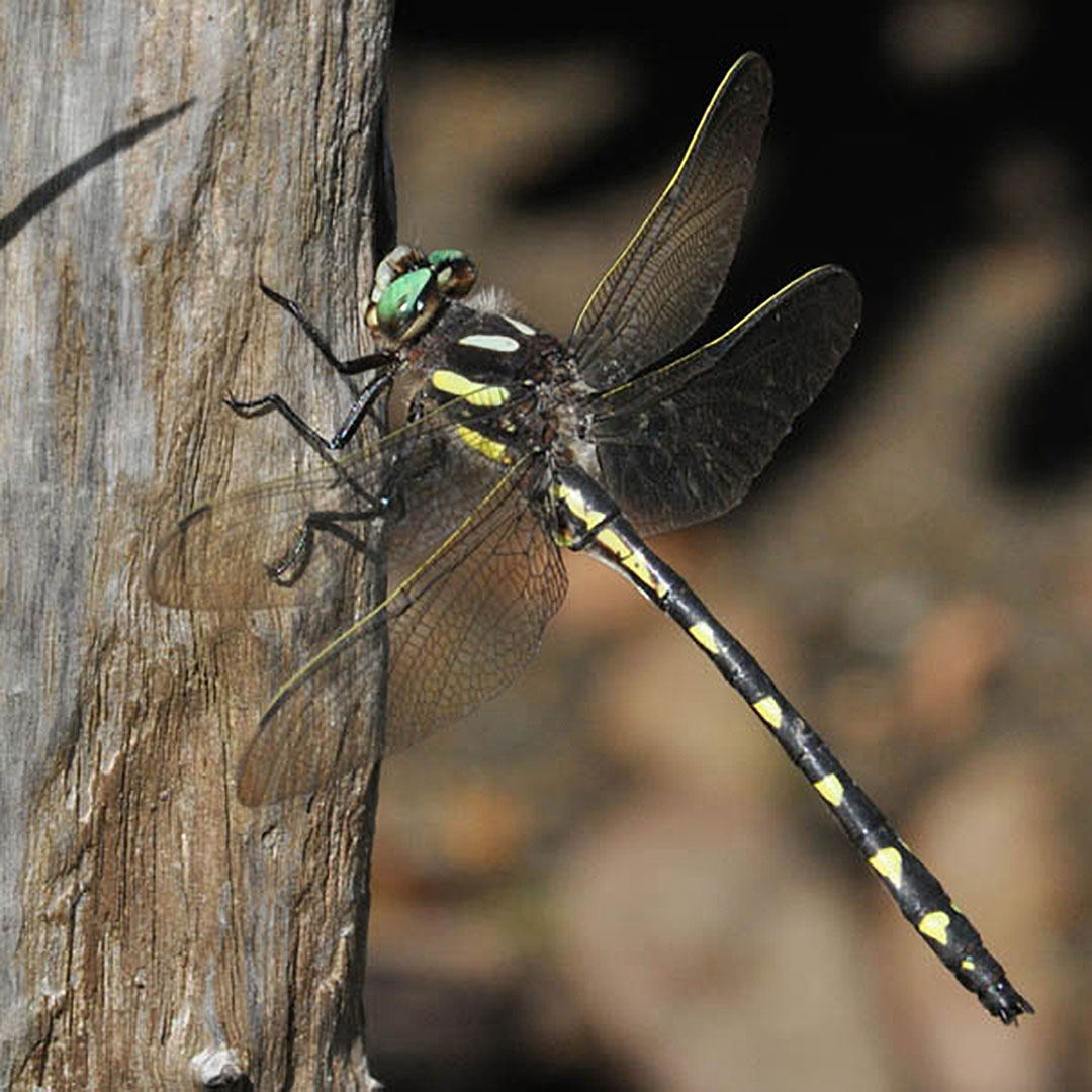 Delta Spiketail