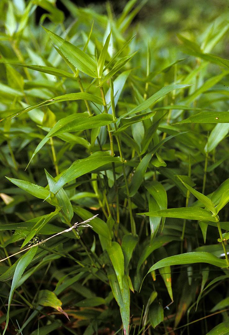 Deer-Tongue Grass