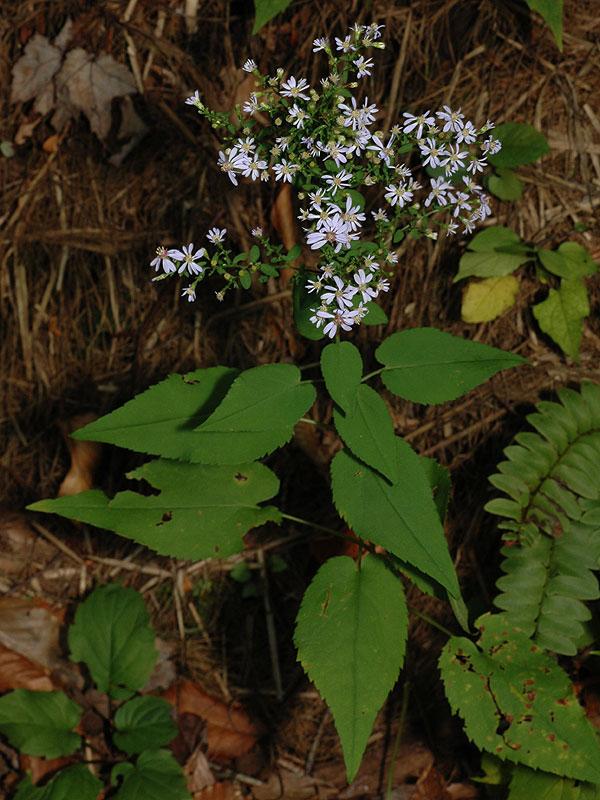 Heart-Leaf Aster