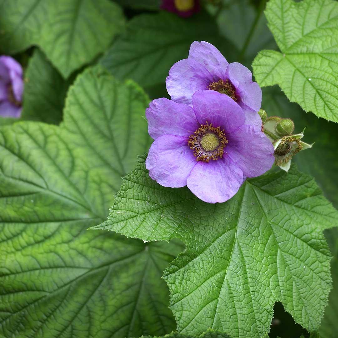 Purple-Flowering Rasberry