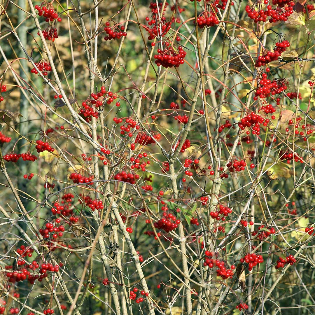 Red Elder Bush
