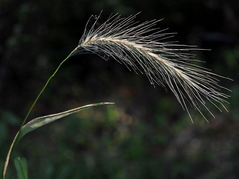 Riverbank Wild-Rye