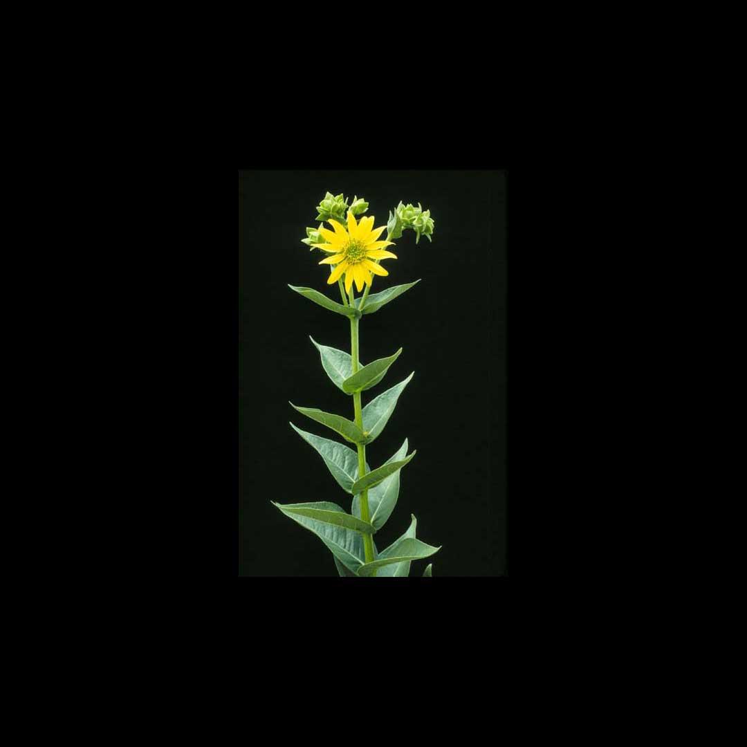 Rosin Leaf Sunflower
