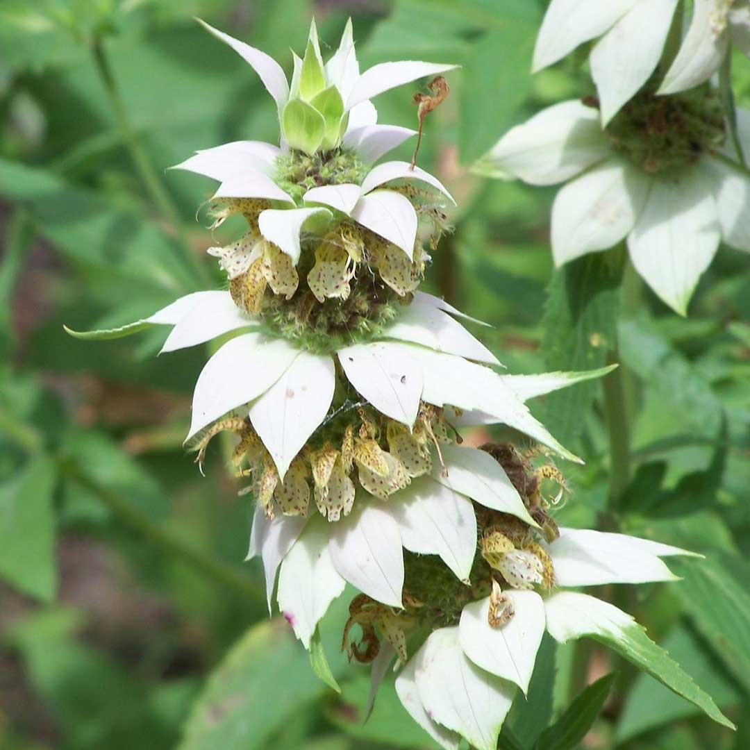 Spotted Bee-Balm