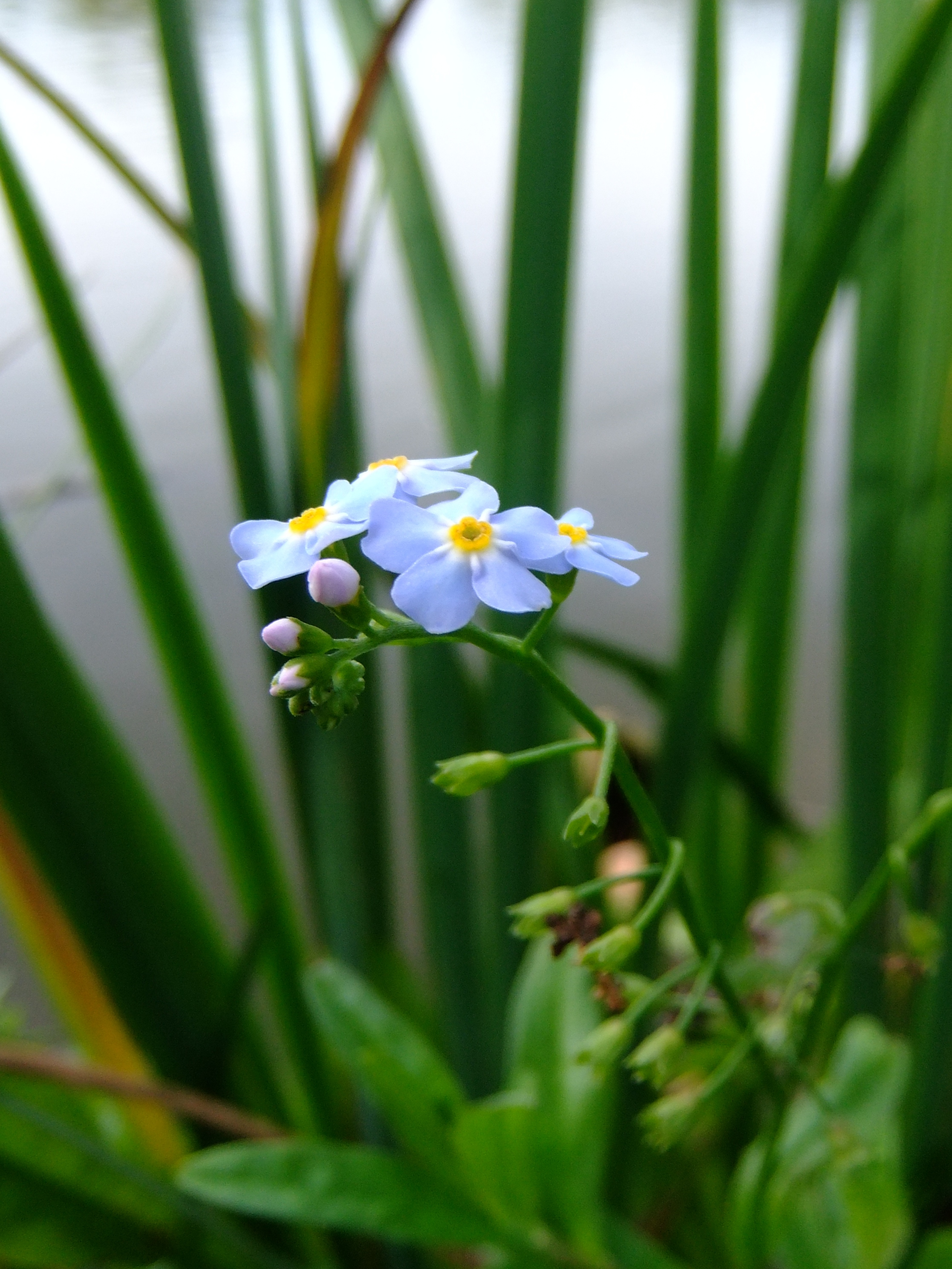 Small Forget-Me-Not