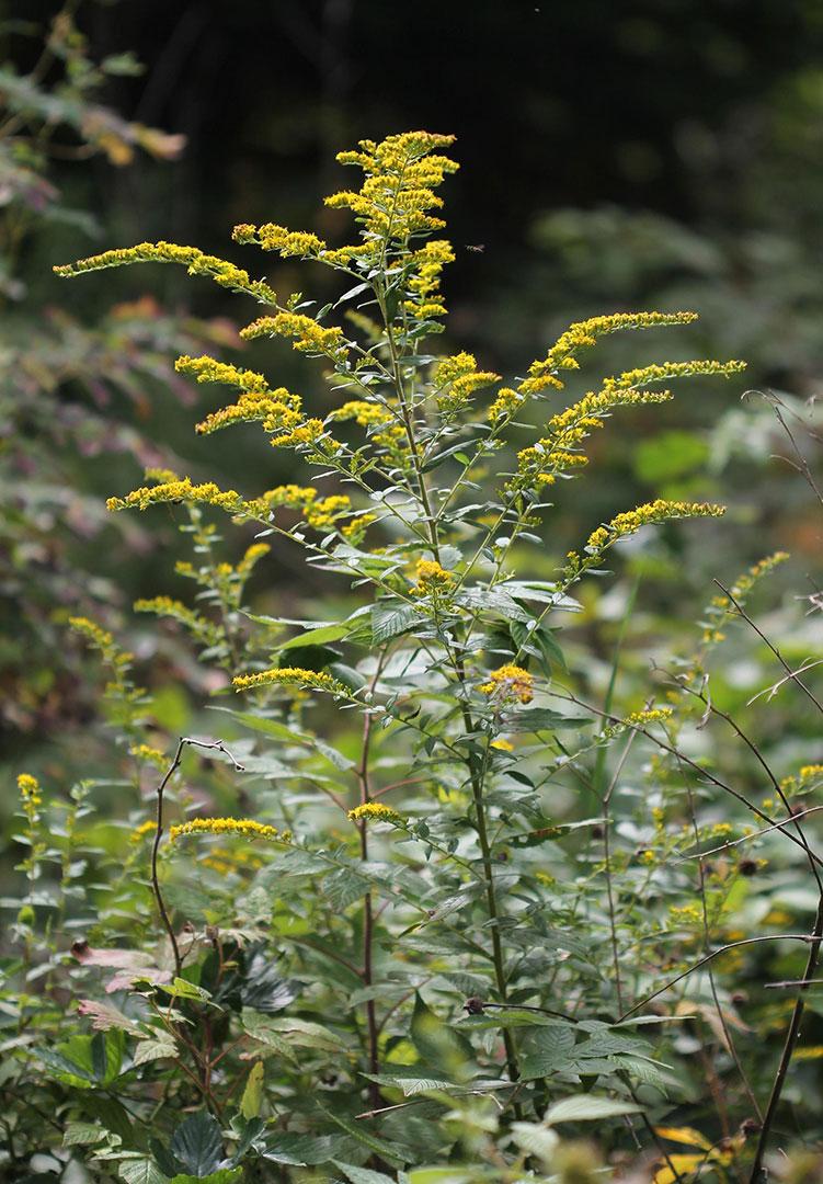 Wrinkle-Leaf Goldenrod