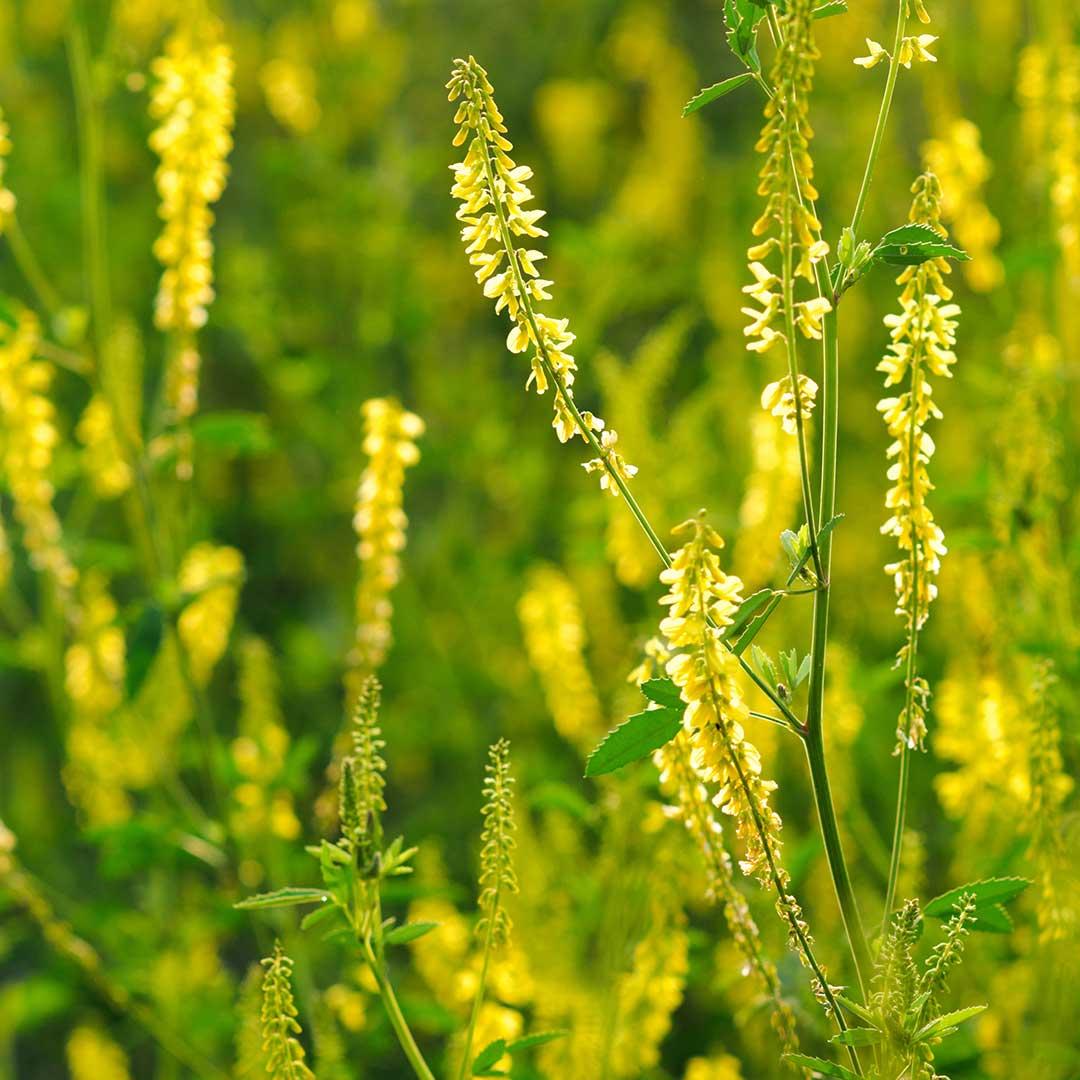 Yellow Melilot