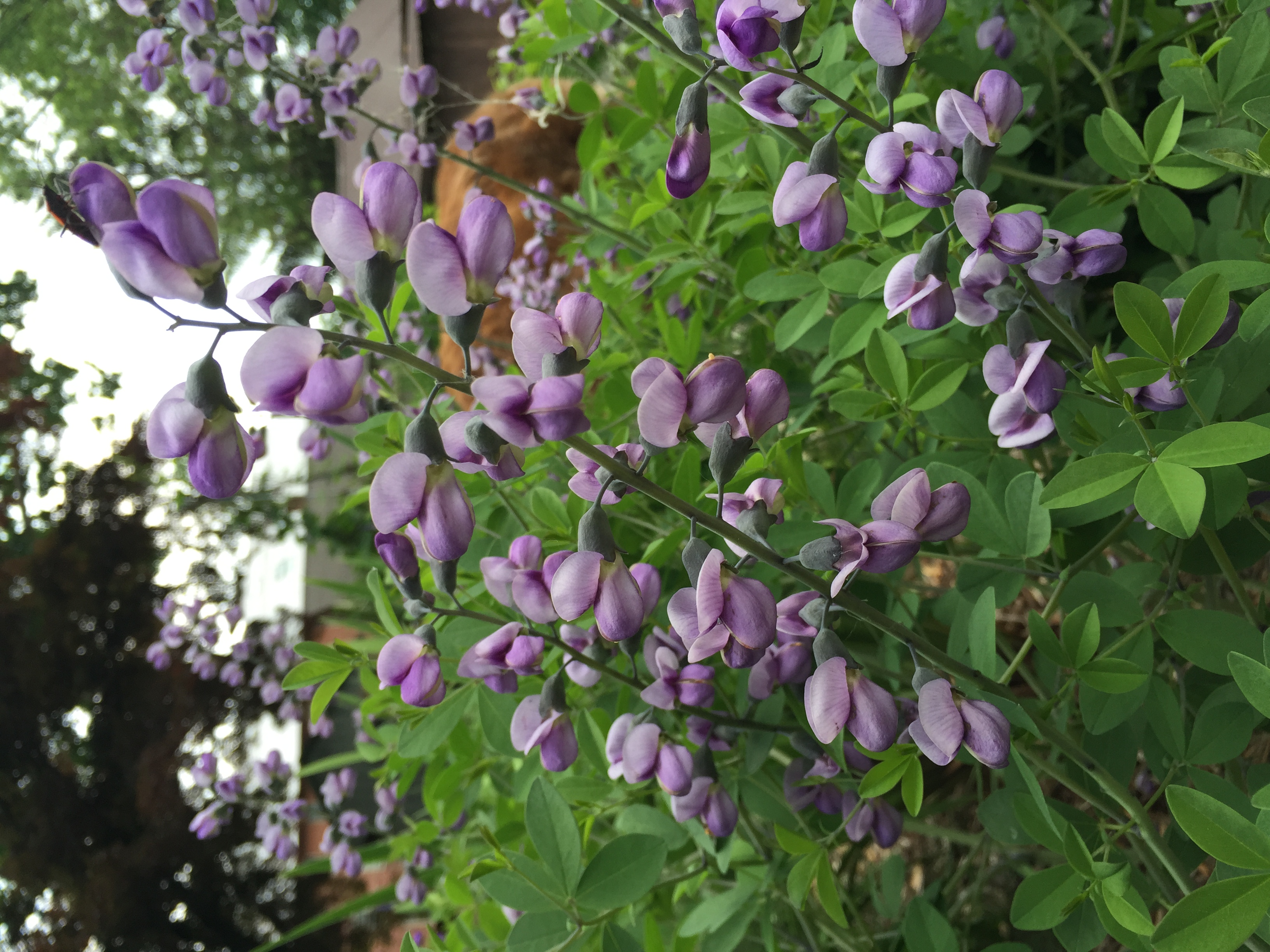 Speaking of that baptisia, look how wonderful it was in bloom!