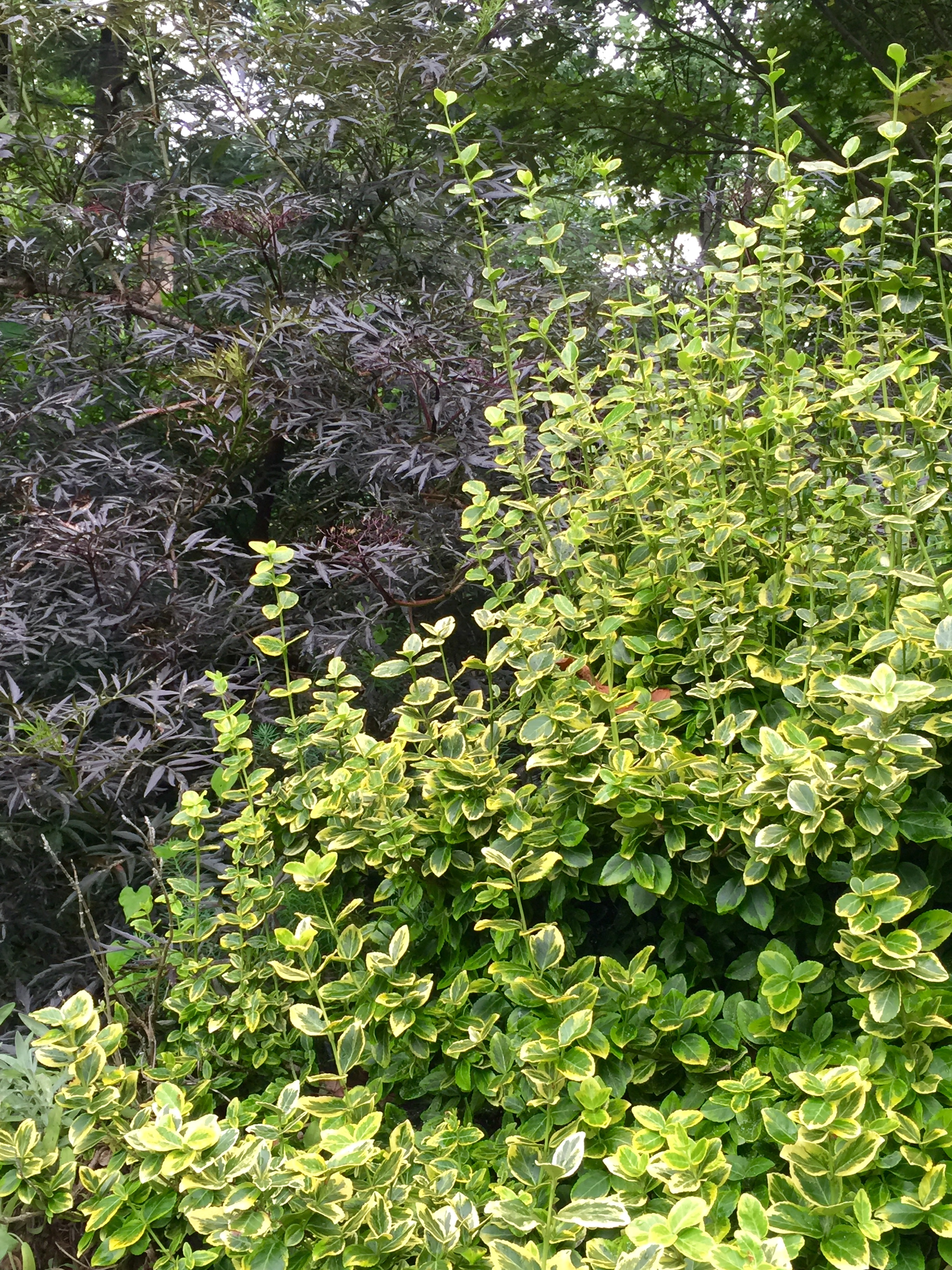 Purple elderberry and variegated euonymus