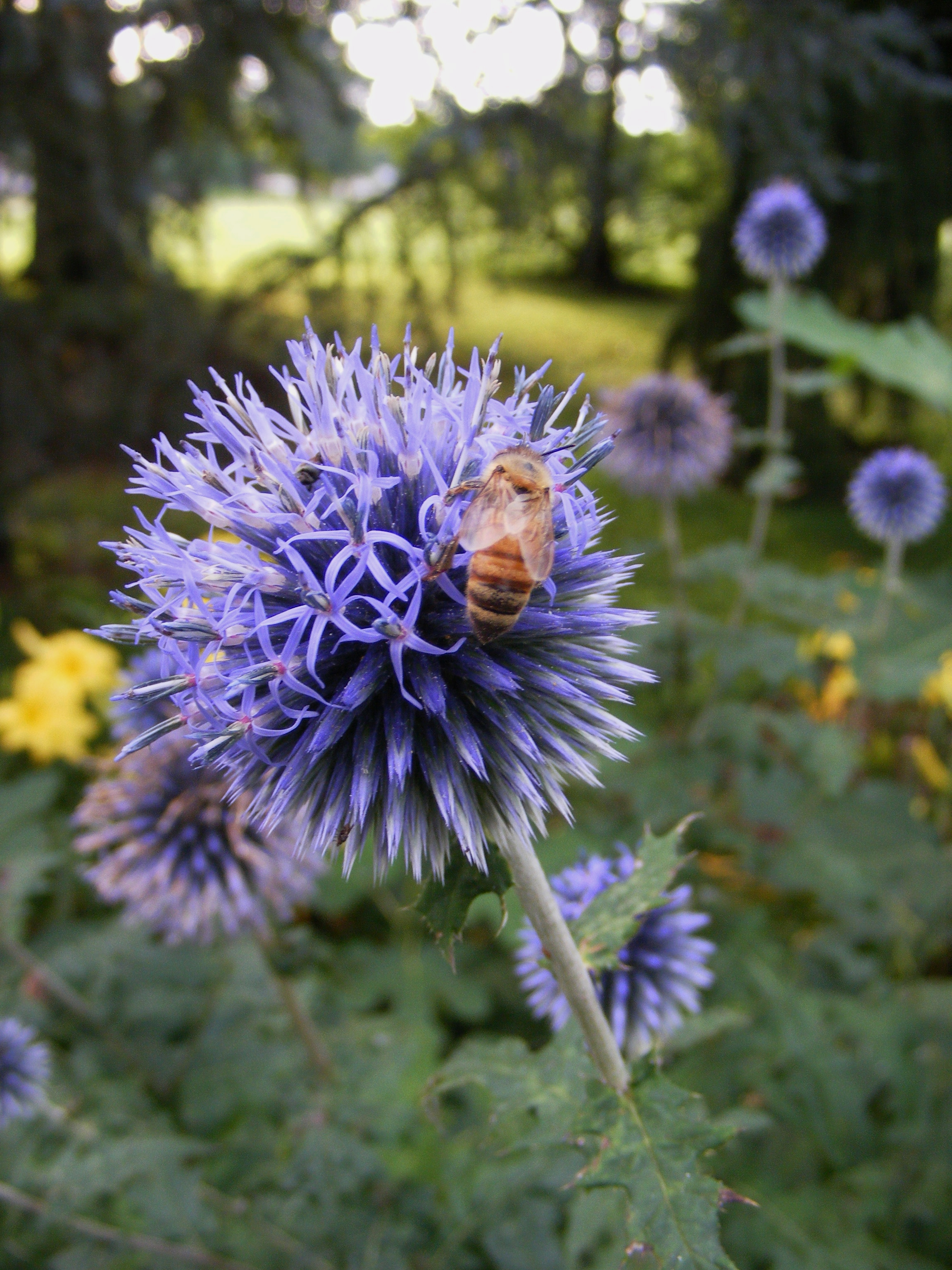 Echinops and a rare honeybee