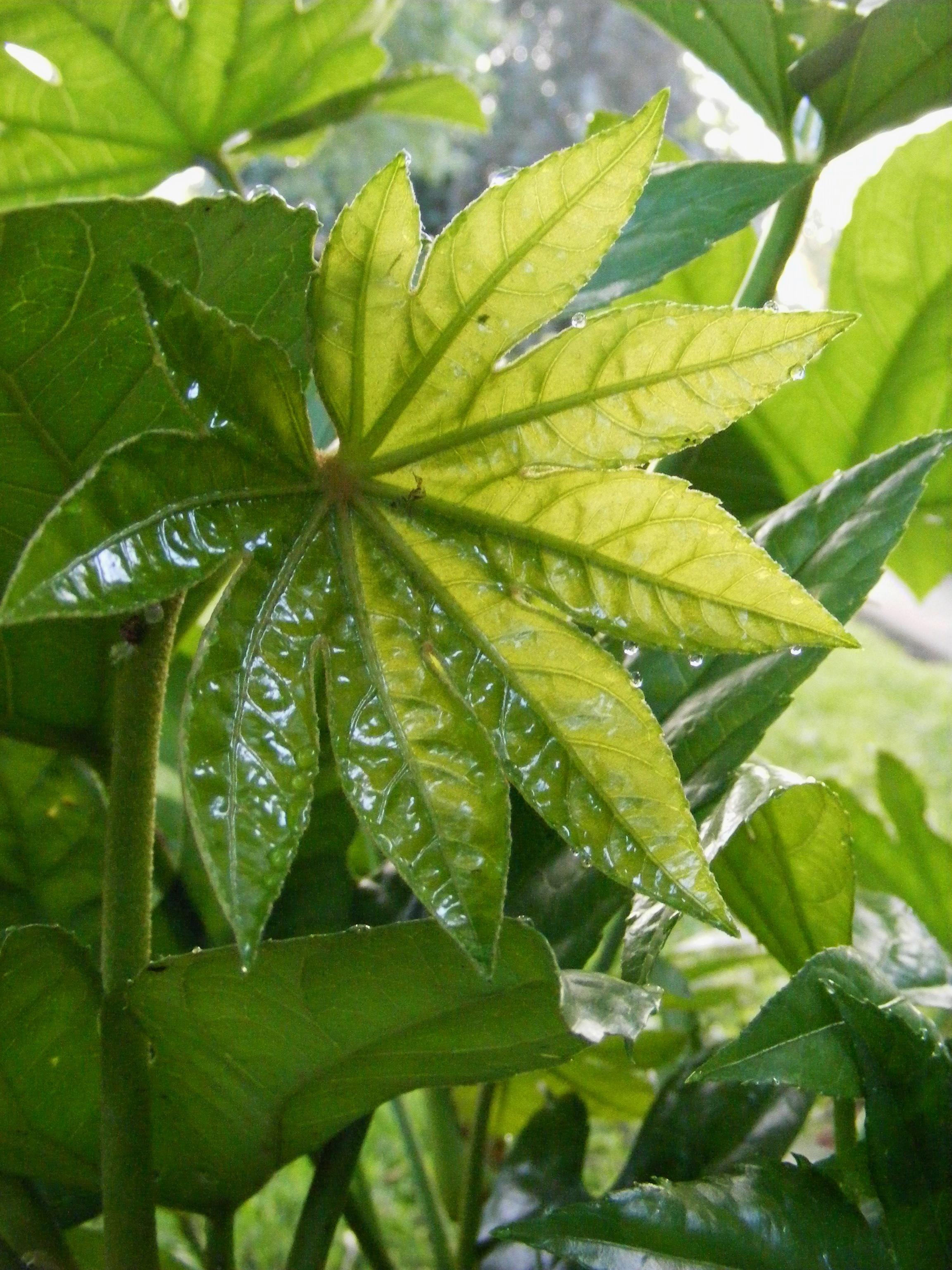 Fatsia leaf with dew