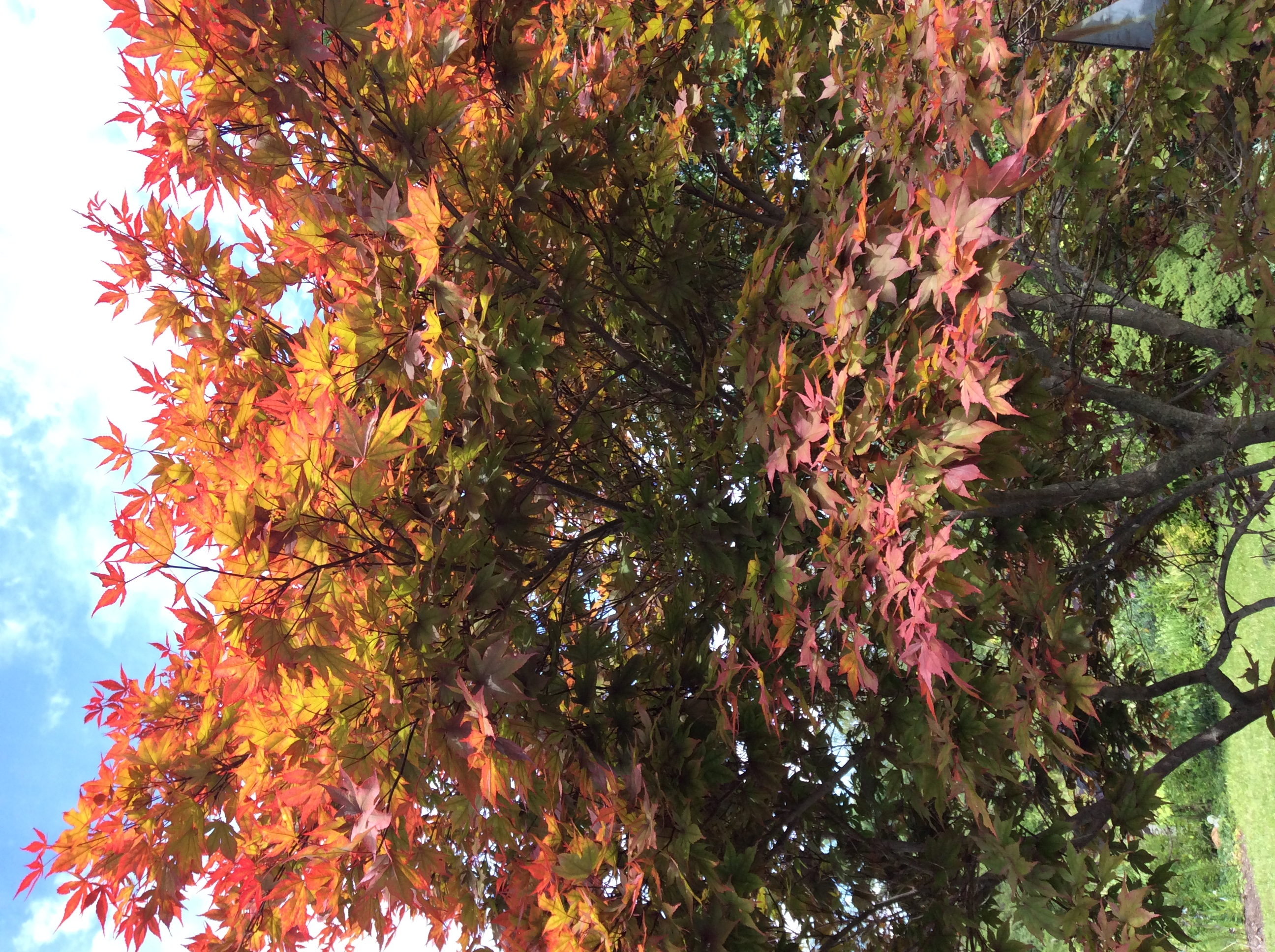 Looking up through the foliage of this Japanese maple I am always amazed at the colors, especially toward late afternoon.