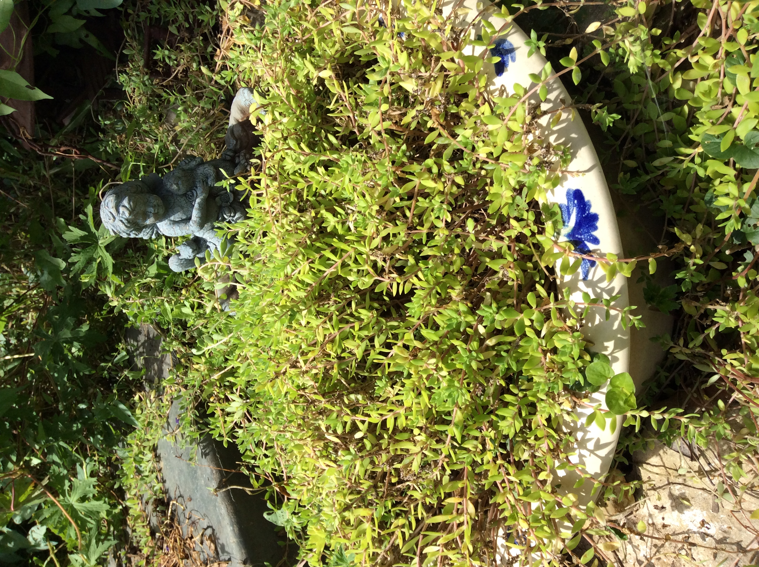 There were several plants in this old sink but the sedum ate them!