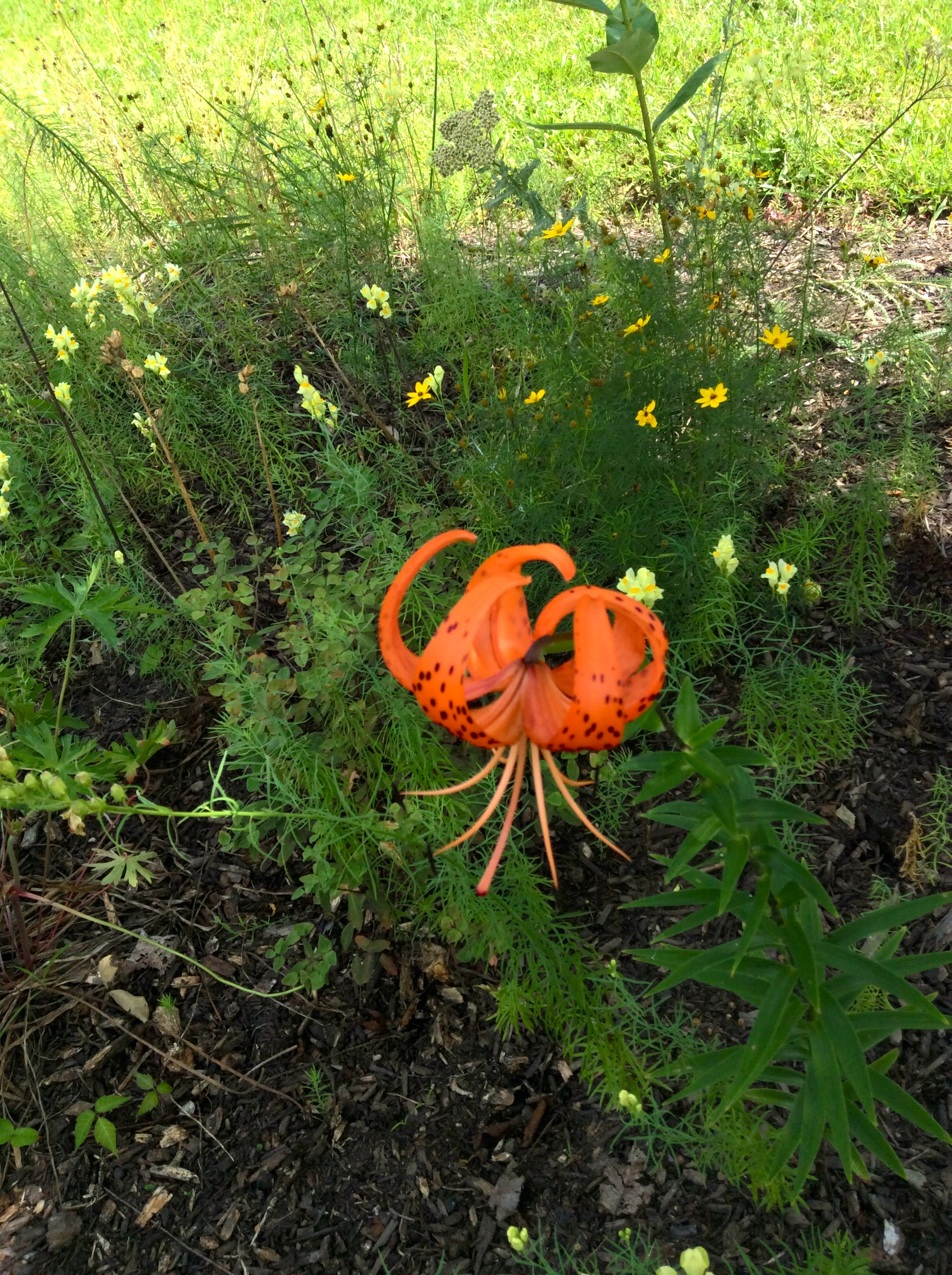 Tiger lily that appeared fromnowhere.