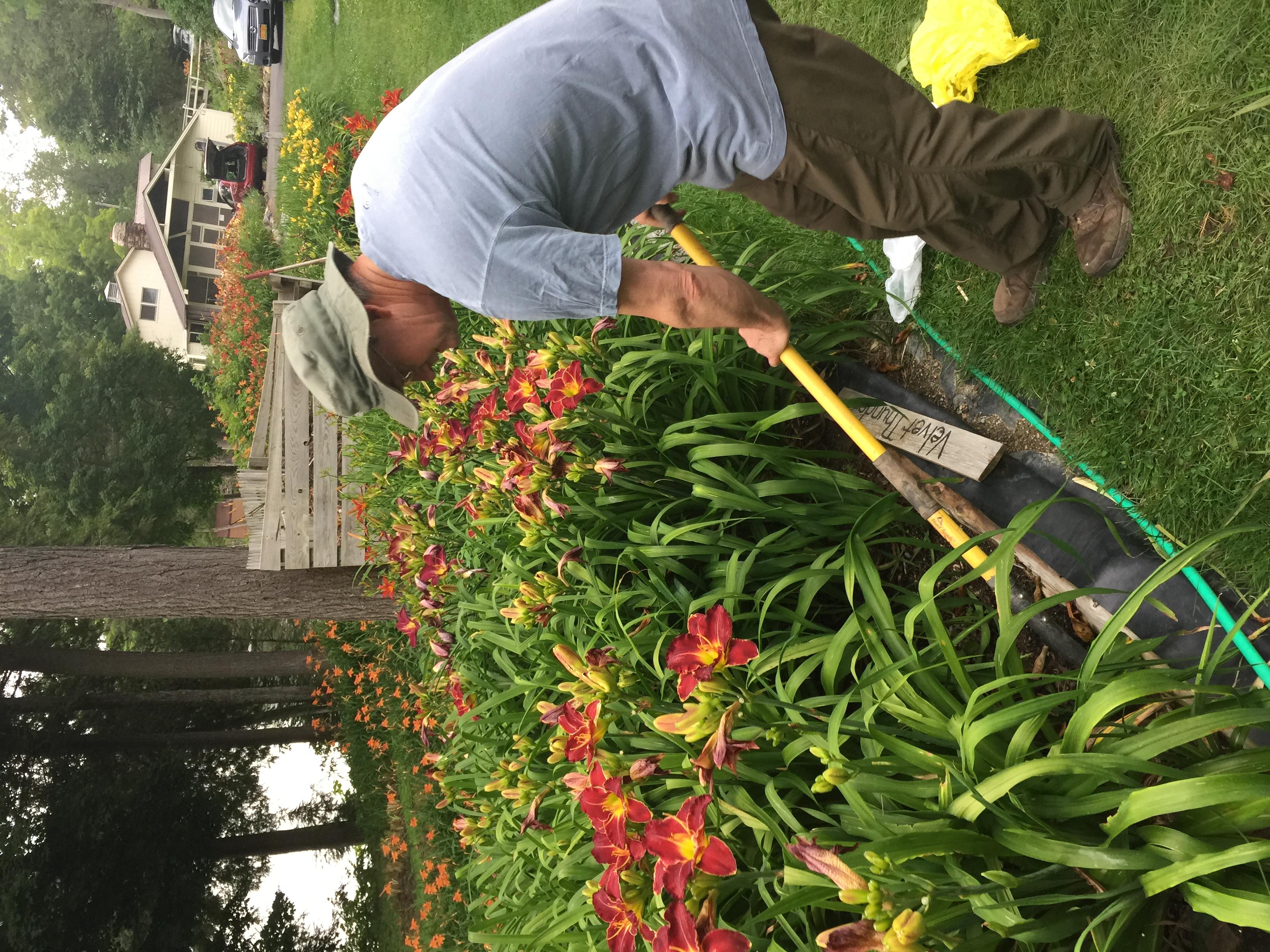 Jim, digging up my 'Velvet Thunder'!